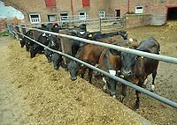 Holstein dairy cows feeding on silage....Copyright..John Eveson, Dinkling Green Farm, Whitewell, Clitheroe, Lancashire. BB7 3BN.01995 61280. 07973 482705.j.r.eveson@btinternet.com.www.johneveson.com