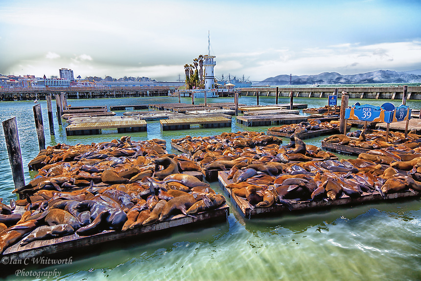 A view of the sea lions at San Francisco's Pier 39 in Fisherman's Wharf.