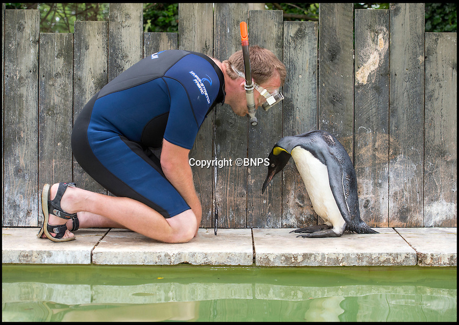 BNPS.co.uk (01202 558833)<br /> Pic: PhilYeomans/BNPS<br /> <br /> Before....<br /> <br /> Charlotte the Penguin finally learns to swim.<br /> <br /> Keeper Alistair Keen at the Birdland sanctuary in the Cotswold's has finally managed to teach aquaphobic baby penguin Charlotte how to swim.<br /> <br /> The 10 month old hand reared chick had never dipped her toes in the attractions large pool, and Alistair's initial attempts to introduce her to the watery enviroment resulted in her splashing around in panic and racing to the side as fast as she could.<br /> <br /> But now after gentle cajoling the flightless bird has finally realised she is a penguin and now Alistair's main problem is how to get her out of the pool.