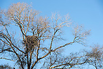 Columbia Ranch, Brazoria County, Damon, Texas; a Bald Eagle nest, high in the branches of a tree