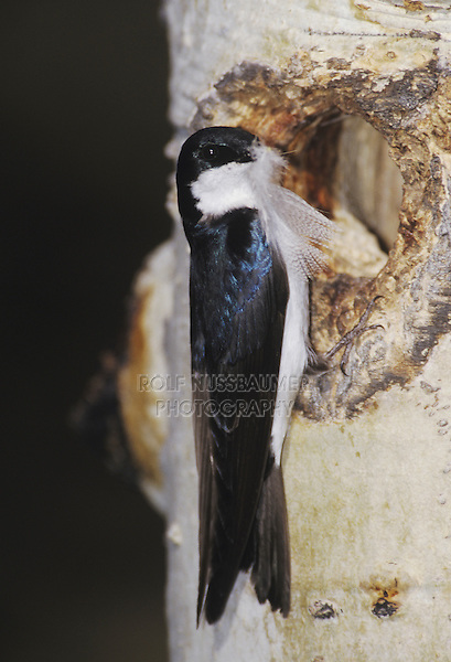 Tree Swallow (Tachycineta bicolor), male with feather at nesting cavity in aspen tree, Rocky Mountain National Park, Colorado, USA
