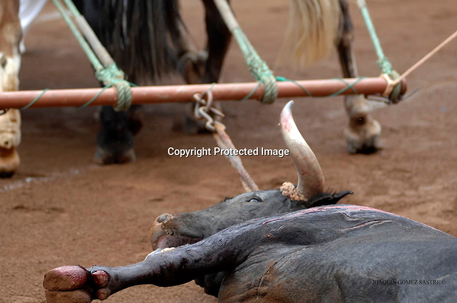 26 JULIO 2008 SANTANDER.Las mulas arrastran al toro despues de muerto.foto JOAQUIN GOMEZ SASTRE©