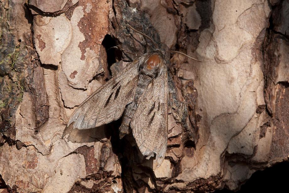 Dennenpijlstaart (Hyloicus pinastri / Sphinx pinastri)