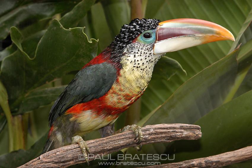 Curl Crested Aracari (Pteroglossus beauharnaesii)