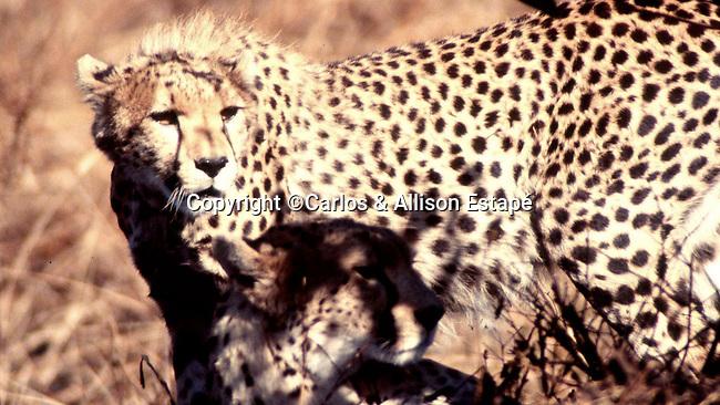 Cheetahs, Masai Mara, Kenya