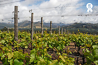South African vineyards early in spring Stellenbosch, South Africa<br />  (Licence this image exclusively with Getty: http://www.gettyimages.com/detail/85985752 )