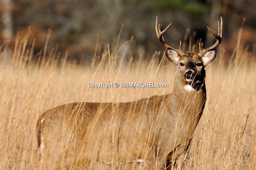00274-316.09 White-tailed Deer Buck (DIGITAL) with 10 point antlers is in big bluestem during fall.  Bark in antlers from rubbing.  Hunt. H7R1
