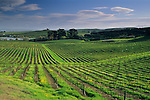 Vineyards in spring, Artesia Winery, Carneros Region, Napa County, California
