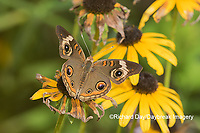 03411-01210 Common Buckeye (Junonia coenia) on Black-eyed Susans (Rudbeckia hirta) Marion Co. IL