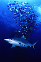 The bigeye jacks, Caranx sexfasciatus, were photographed off Mexico and the gray reef shark, Carcharhinus amblyrhynchos, a common species in the Pacific