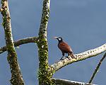 Montezuma's Oropendula, Psarolcolius montezuma, perched in a tree in Costa Rica.