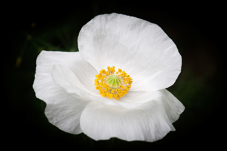 Papaver rhoeas 'Bridal Silk', a white cultivated form of the common or field poppy, early July.
