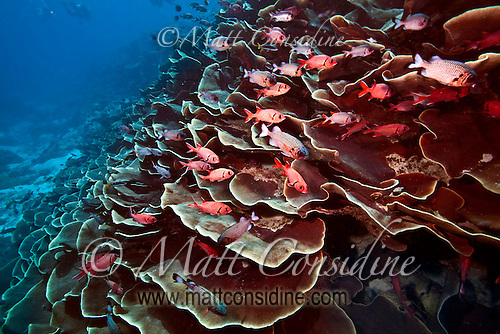 The famous Ulong Channel with plate coral and Glasseyes taking shelter from the current.  It is great fun to do a fast drift dive down Ulong past  all the abundant life on the reef, Palau Micronesia. (Photo by Matt Considine - Images of Asia Collection) (Matt Considine)