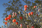 blooming apricot mallow