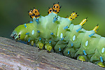A Very Colorful And Strange Looking Creature, The Cecropia Moth Caterpillar, Hyalophora cecropia