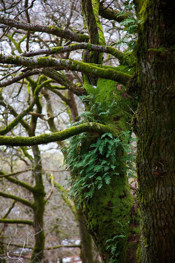 Oak Tree (Quercus robur), The Elan Valley, Rhayader, Mid-Wales, UK     ROBLE VALLE DE ELAN, RHAYADER, GALES MEDIO, REINO UNIDO