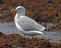 Adult herring gull