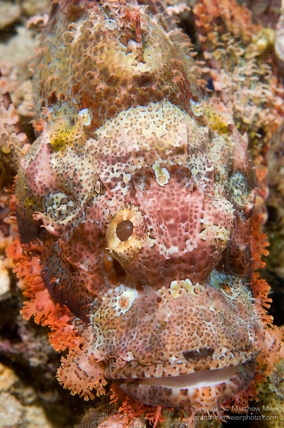 Anilao, Philippines; a light brown, orange, red and white Tassled Scorpionfish (Scorpaenopis oxycephala) camouflaged against the coral reef