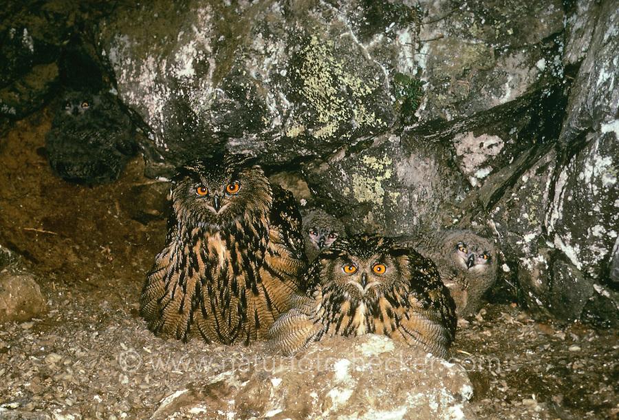 Uhu, Paar, P'rchen mit K[ken im Nest, Horst in einer Felswand, Bubo bubo, eagle owl