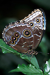 Morpho peleides Butterfly, underside of wings, Belize, showing eye spots.Belize....