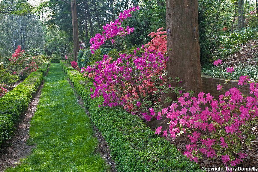 U.S. National Arboretum, Washington D.C.<br /> Pathway and hedges in the formal Morrison Garden with blooming Glenn Dale hybrid azaleas