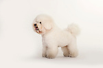 Bichon FriseDog, Standing, Studio, White Background