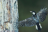 Red-cockaded Woodpecker (Picoides borealis), adult landing at nesting cavity, Wake County, North Carolina, USA