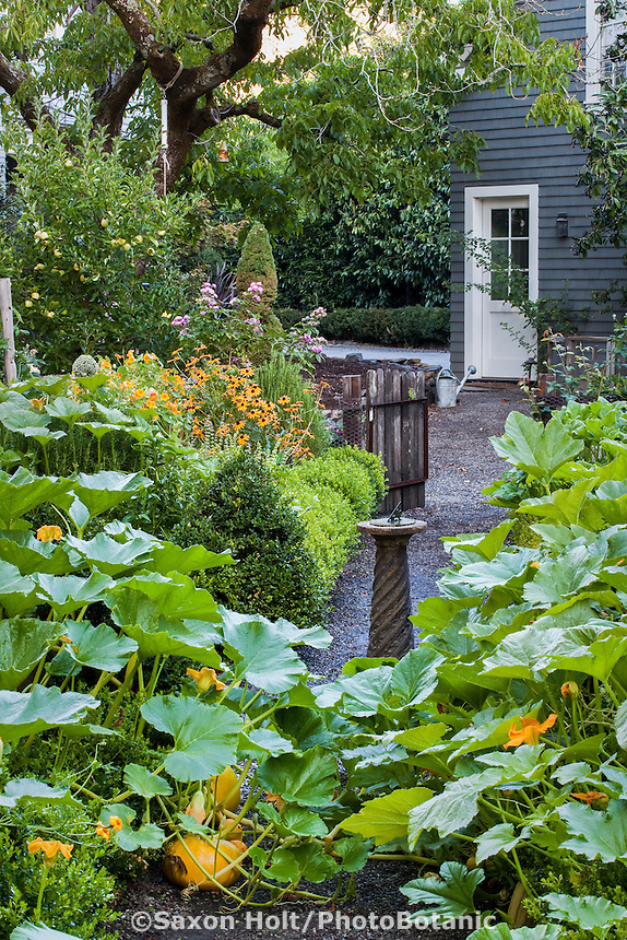 Pumpkin squash vines overflowing beds in small backyard organic kitchen garden with sundial, vegetables, herbs, and flowers