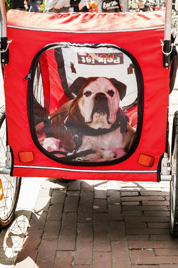Nederland, Amsterdam, 30 mei 2015<br /> Bulldog in een fietskarretje. Karretje voor achter de fiets, speciaal gemaakt voor het vervoeren van soms oude honden die niet meer al te veel kunnen lopen.  <br /> Foto: Michiel Wijnbergh