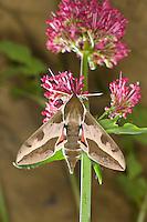 Wolfsmilch-Schwärmer, Wolfsmilchschwärmer, Blütenbesuch an Rote Spornblume, Nektarsuche, Wolfsmilchs-Schwärmer, Wolfmilchschwärmer, Wolfsmilchschwärmer, Hyles euphorbiae, Celerio euphorbiae, Spurge Hawk-moth, Spurge Hawkmoth, Schwärmer, Sphingidae, hawkmoths, sphinx moths