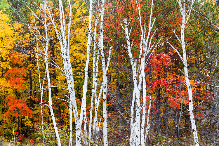 Maple trees in Fall color along a pond; Northern Highland-American Legion State Forest. WI