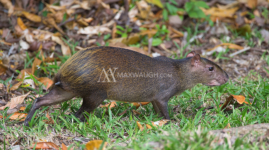 Perhaps the most common terrestrial mammal I see in Costa Rica is the agouti.