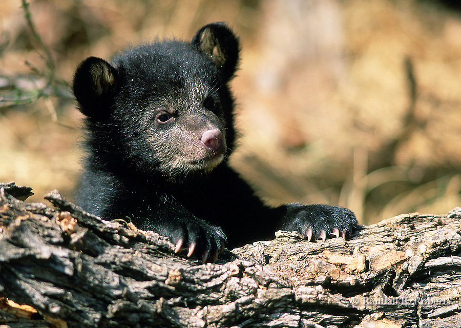 Black Bear cub (captive).