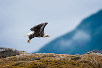 Bald Eagle (Haliaeetus leucocephalus) spots something on the water and is off in pursuit.  Kukak Bay, Alaska.