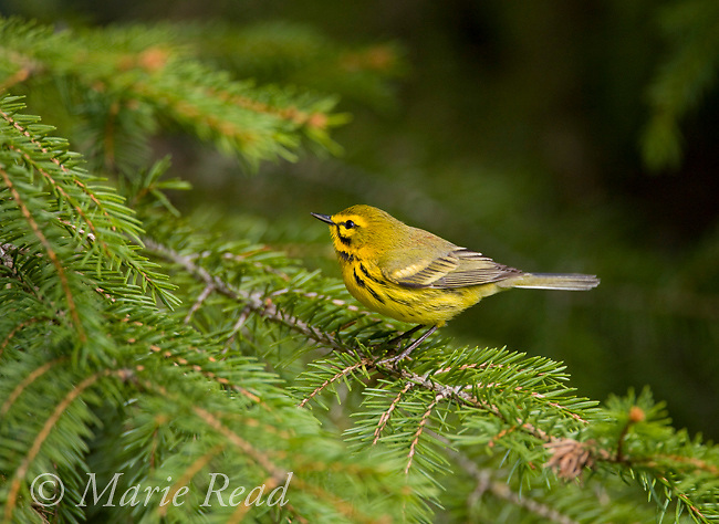 Prairie Warbler (Dendroica discolor) male perched on spruce bough, New York, USA