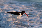 American Oystercatcher (Haematopus palliatus) foraging in the surf in late afternoon light, Fort DeSoto Park, Florida, USA
