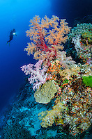 A diver explores a steep slope dominated by Dendronepthya soft coral colonies. Vatu-i-ra, Fiji, Pacific Ocean