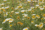 Wild Flower Meadow with Corn Chamomile, Anthemis arvensis, nr Fuesta, Ria Formosa East, Algarve, Portugal