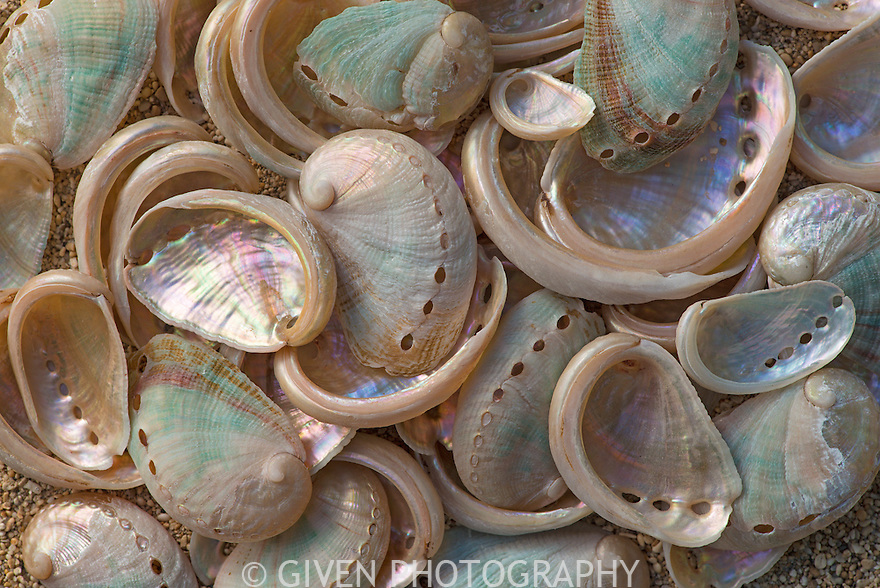 Abalone Shells in sand