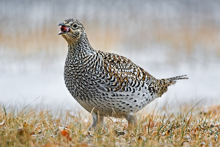 Shart-tailed grouse eating a crab apple
