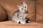 Carl, ANIMALS, photos, kitten, sofa(SWLA1759,#A#) Katzen, gatos