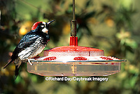 01198-00115 Acorn Woodpecker (Melanerpes formicivorus) male on nectar feeder, Madera Canyon   AZ