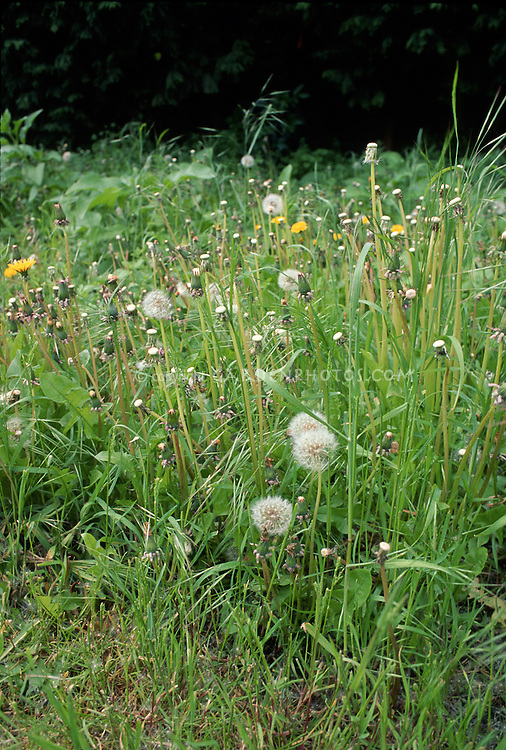 Dandelions in seedheads & flower in high lawn grass, Taxacetum officinale