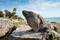 An iguana at the Mayan ruins of Tulum, Quintana Roo