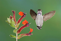 Costa's Hummingbird, Calypte costae, young male in flight feeding on Flower,Tucson, Arizona, USA, September 2006
