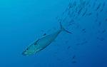 Dogtooth tuna (Gymnosarda unicolor)