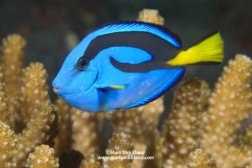 The distinctively colored Palette Surgeonfish, a.k.a. &quot;Dory&quot;<br />