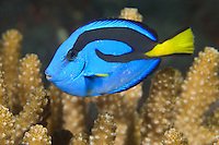 "The distinctively colored Palette Surgeonfish, a.k.a. ""Dory""<br />