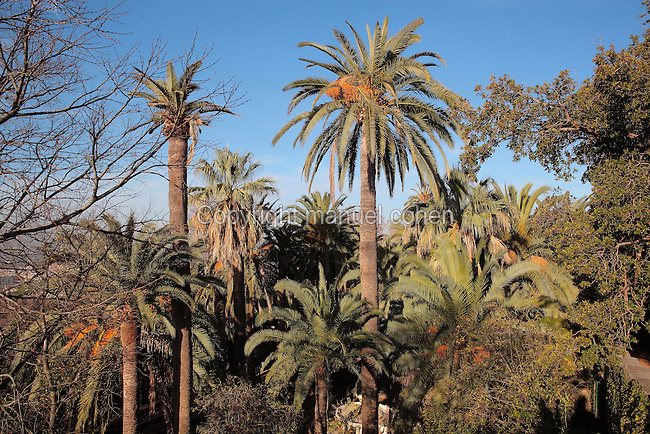 Palm trees in the Jardin de las Palmeras or Garden of Palms of the Carmen de los Martires Garden, on the site of a Barefoot Carmelite shrine and convent originally established in 1492, in Granada, Andalusia, Southern Spain. A Carmen is a traditional house with enclosed garden, this example dates to the 19th century and displays various garden styles including English, Spanish and Nasrid. Picture by Manuel Cohen