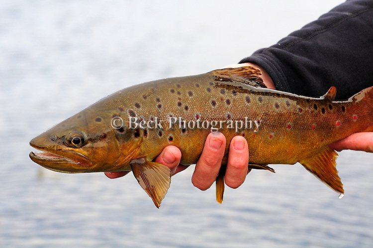 Winter fly fishing for brown trout